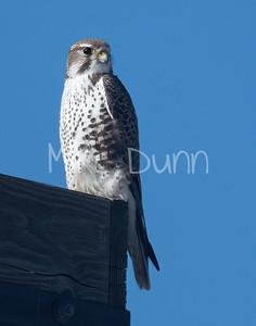 Prairie Falcon-54