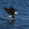Bald Eagle Fishing at Lock 14 in Le Claire