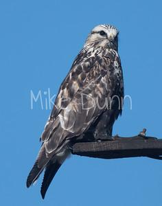 Rough-legged Hawk-33