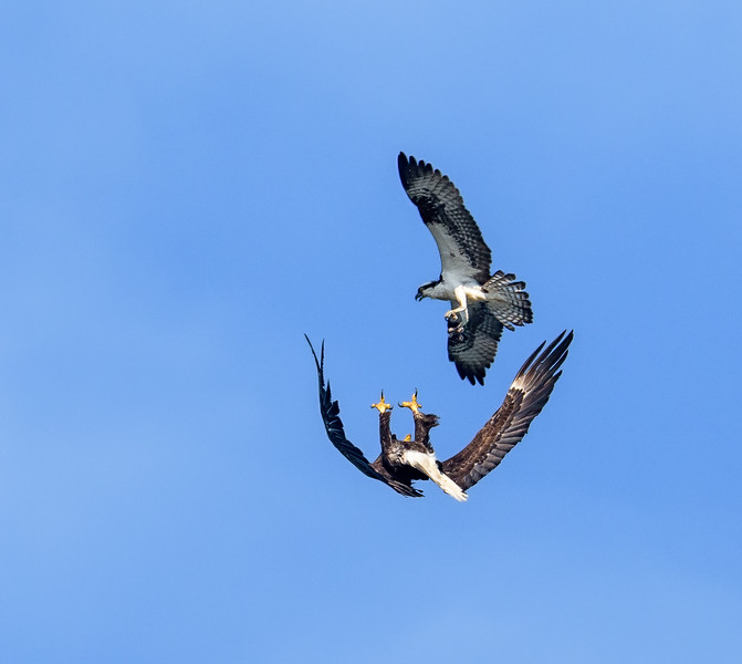 Male Osprey defending air space over nest from Bald Eagle