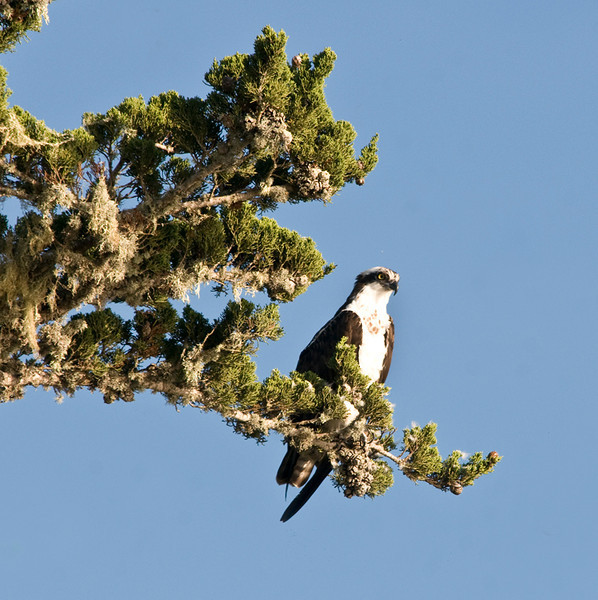 Osprey in Cypress