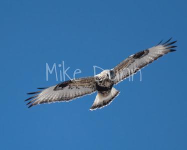 Rough-legged Hawk-26