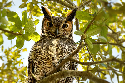 Great Horned Owl in my Central Florida yard
