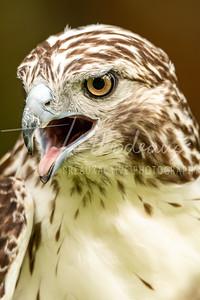 Red Tail Hawk - Houston Audubon Society