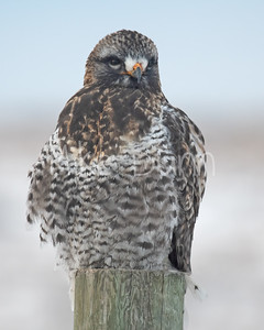 Rough-legged Hawk-27
