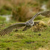 Northern goshawk (Accipiter gentilis)