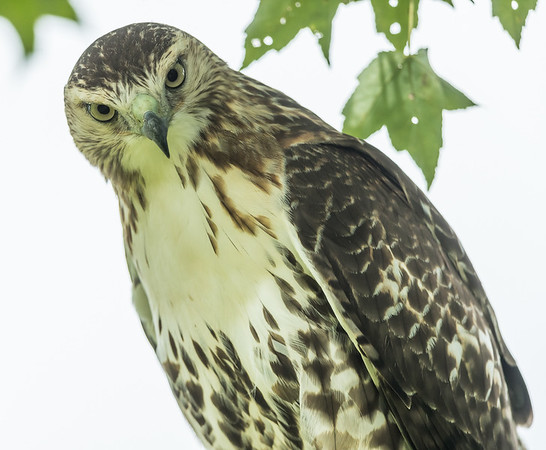 Redtailed Hawk 3