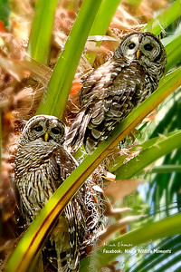 Barred Owl Couple - Central Florida