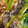 Barred Owl Couple - Central Florida