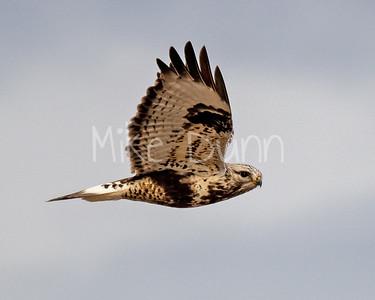 Rough-legged Hawk-30