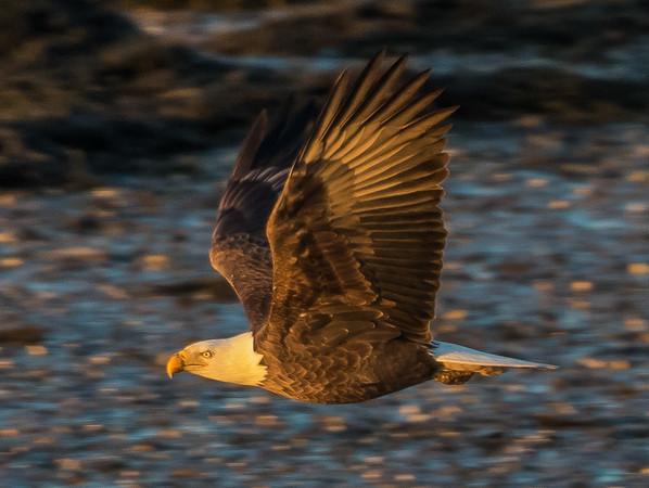 Bald Eagle at Dusk