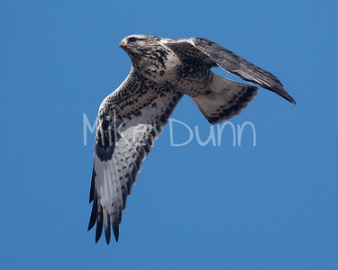 Rough-legged Hawk-34