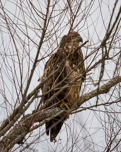 Immature Eagle Incognito