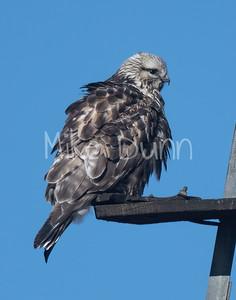 Rough-legged Hawk-32