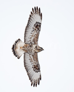 Rough-legged Hawk-38