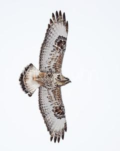 Rough-legged Hawk-38