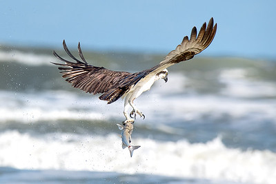 Osprey catching fish at New Smyrna Beach, Florida