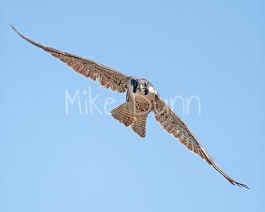 Peregrine Falcon-2