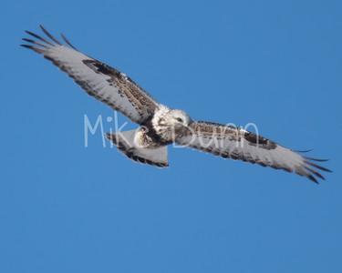 Rough-legged Hawk-18