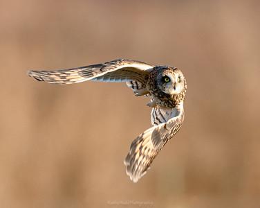 Short Eared Owl launching