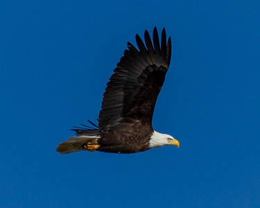 Side View Bald Eagle in Flight