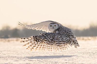 Snowy owl flying by