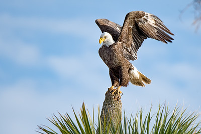 Bald Eagle at the Orlando Wetlands Park, Florida
