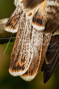 Red Tailed Hawk tail feathers