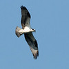 After a four month absence....the Osprey has returned