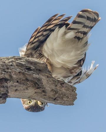 Peekaboo Hawk