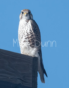Prairie Falcon-53