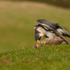Peregrine falcon (Falco peregrinus