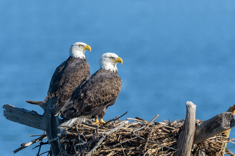 Bald Eagle pair - Synepuxent Bay