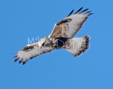 Rough-legged Hawk-20