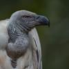 Cape Griffin Vulture