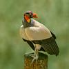 King Vulture III