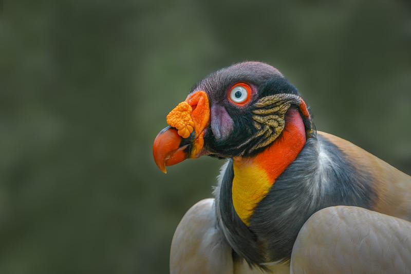 King Vulture II