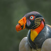King Vulture II