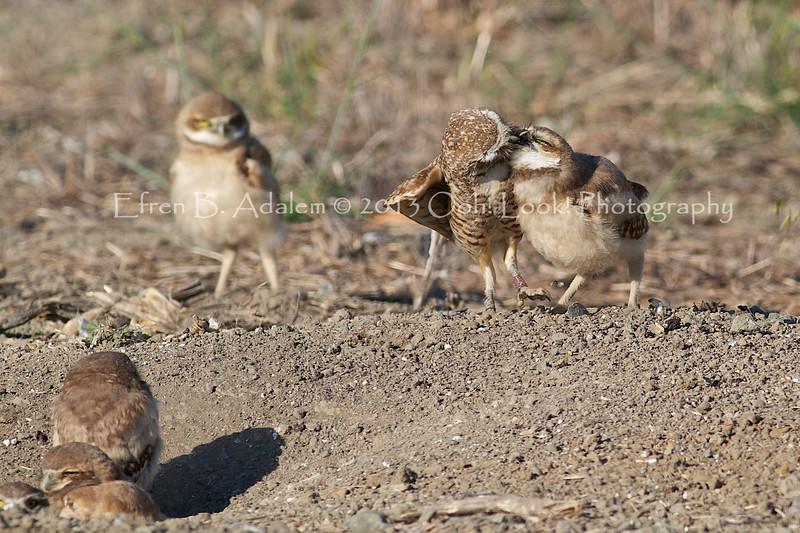 Burrowing Owl Mom feeding the fledglings.