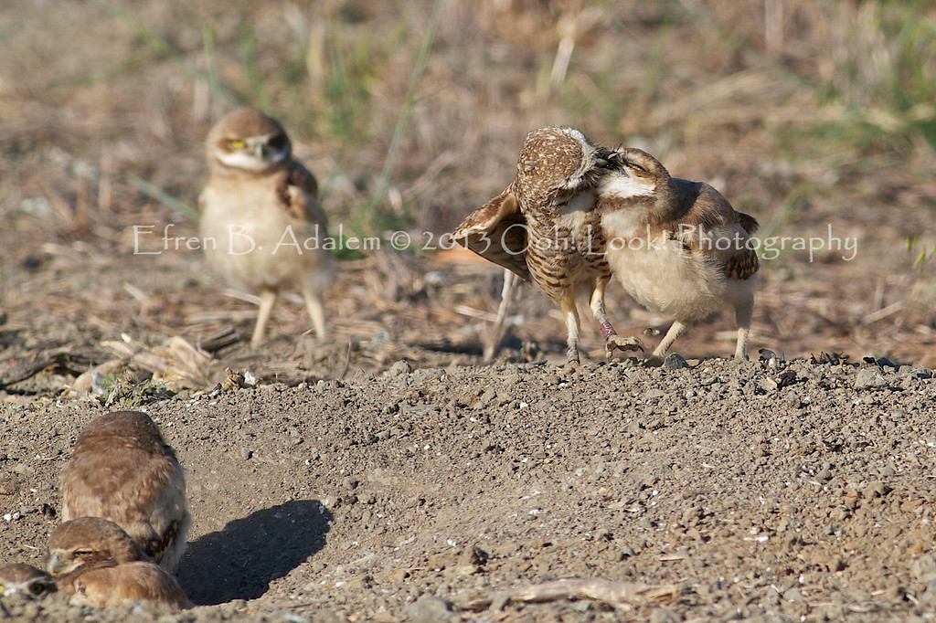 Burrowing Owl Mom feeding the fledglings.