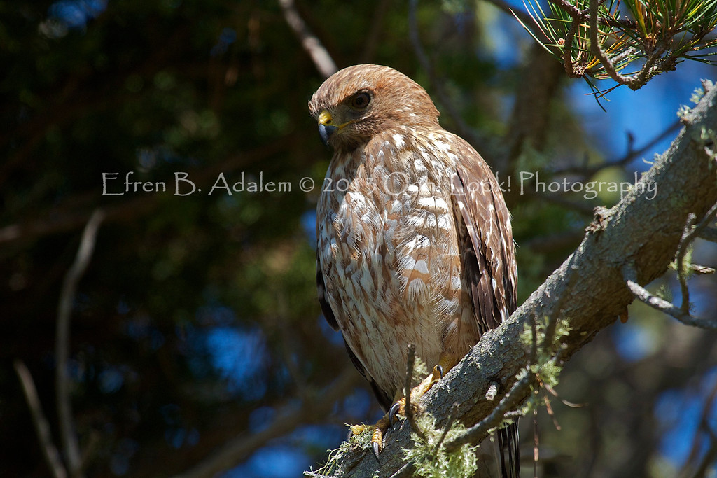 Red Shouldered Hawk Series