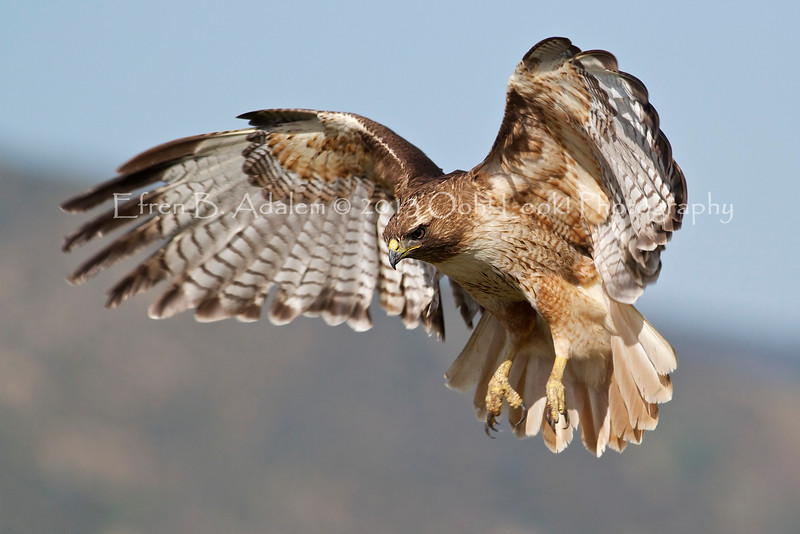 Red Tailed Hawk, Carrizo Plains National Monument