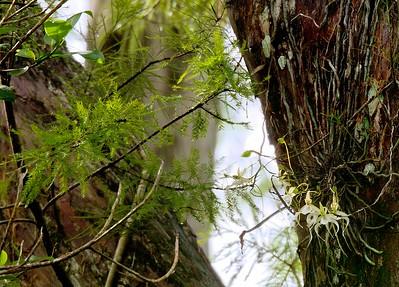 Super Ghost Orchid at Corckscrew Swamp Sanctuary