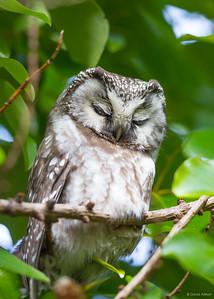 Tengmalm's Owl