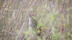 Fernbird 1