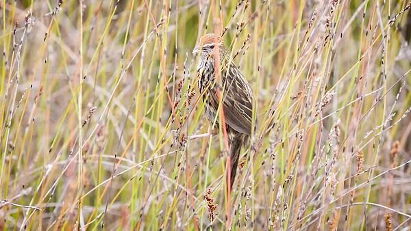 Fernbird 6