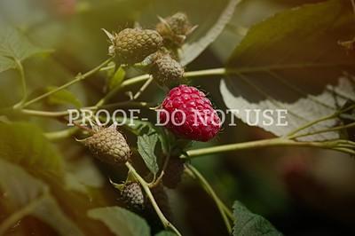 Raspberries 20002