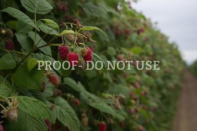 Raspberries 101