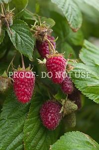 Raspberries 084