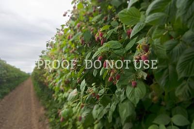 Raspberries 048